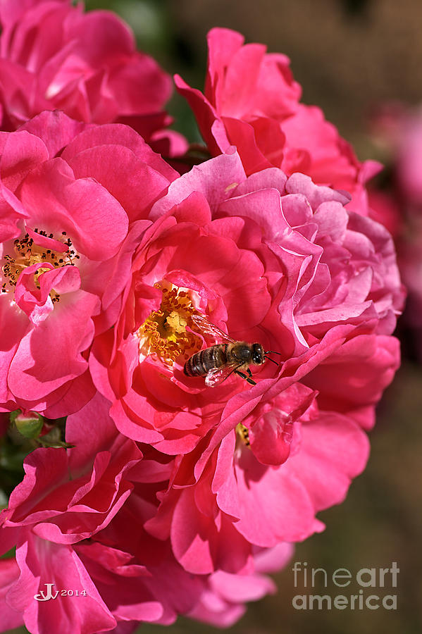 Flower Photograph - Flowers-roses-pink-bee by Joy Watson
