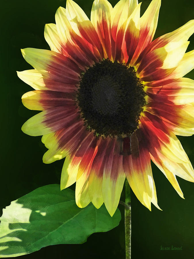 Sunflower Photograph - Flowers - Sunflower Ring Of Fire by Susan Savad