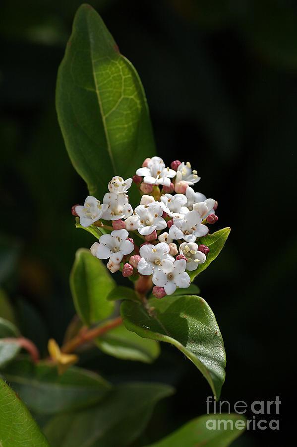 Flower Photograph - Flowers-tiny White by Joy Watson