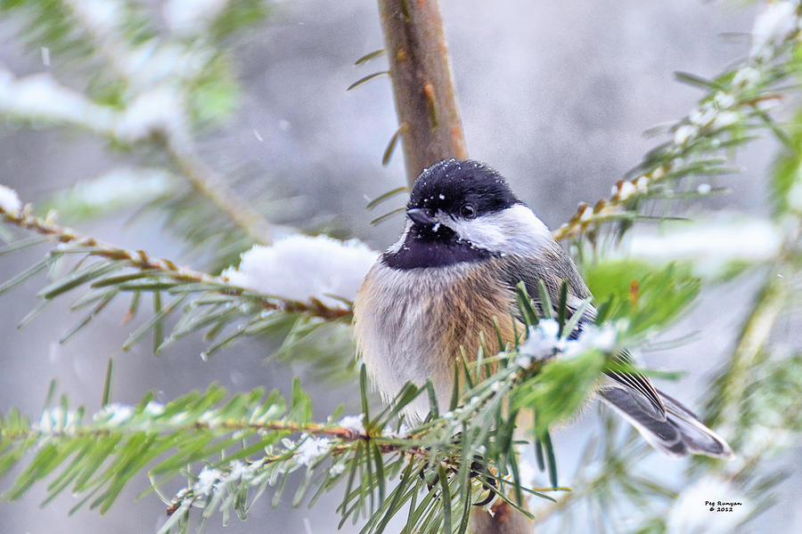 Chickadee Photograph - Fluffy Chickadee by Peg Runyan