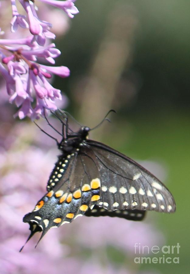 Butterfly Photograph - Flutter Bye by French Toast