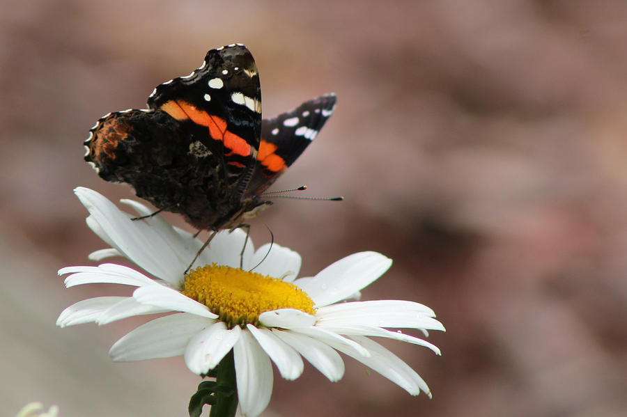 Red Admiral Photograph - Flutter II by Sarah Boyd