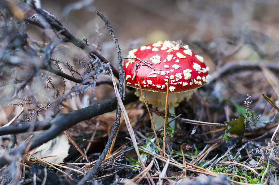 Fly Agaric Photograph - Fly Agaric Toadstool by David Isaacson