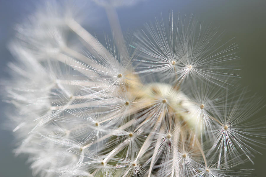 Dandelion Photograph - Fly Away Dandelion Seeds  by Jennie Marie Schell