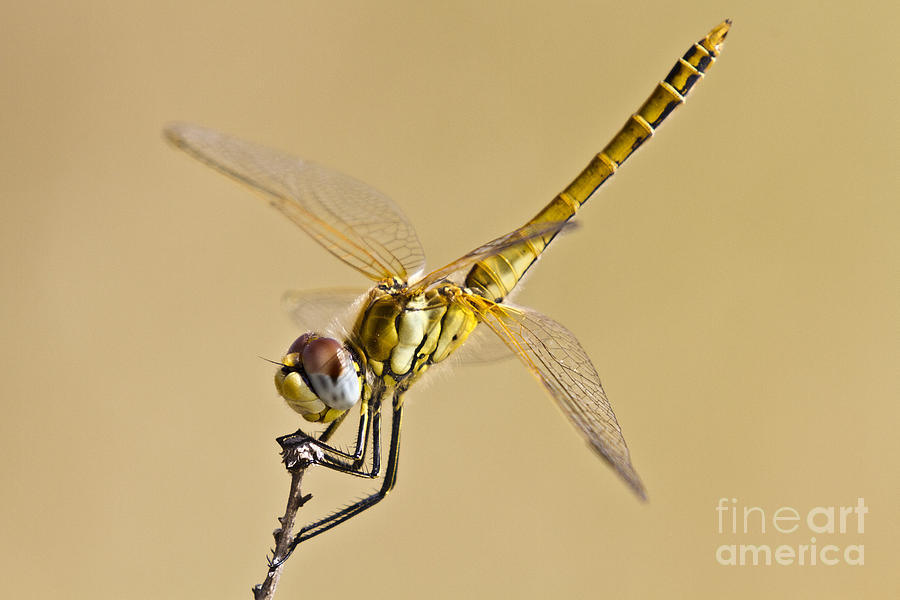 Animal Photograph - Fly Dragon Fly by Heiko Koehrer-Wagner