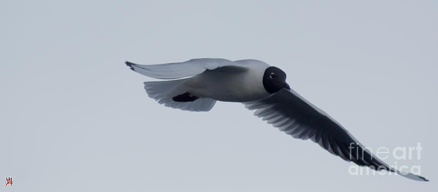 Bird Photograph - Fly by Marco Affini