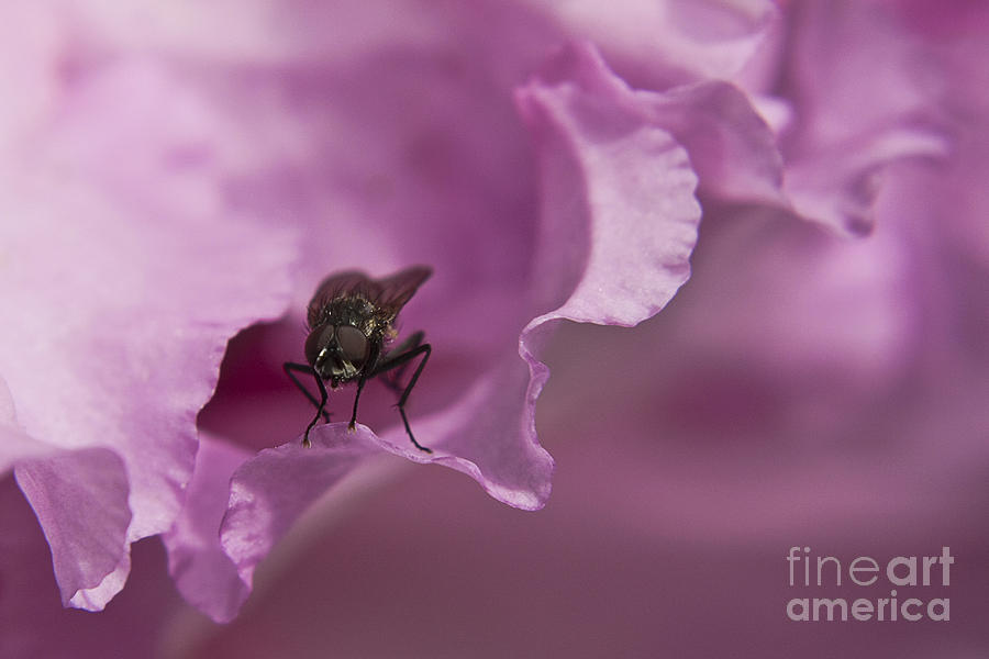 Fly On A Rhododendron Photograph