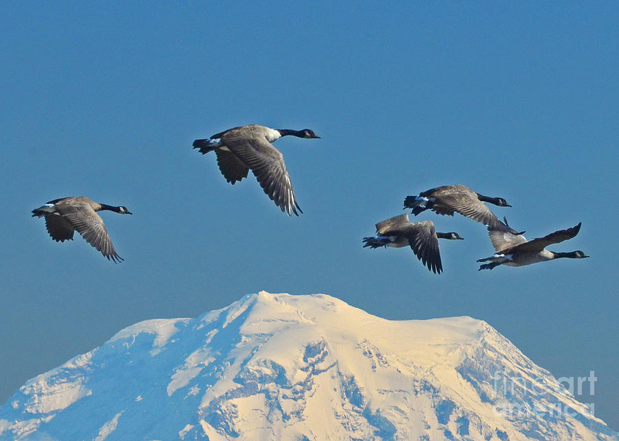 Geese Photograph - Flyby by Jack Moskovita