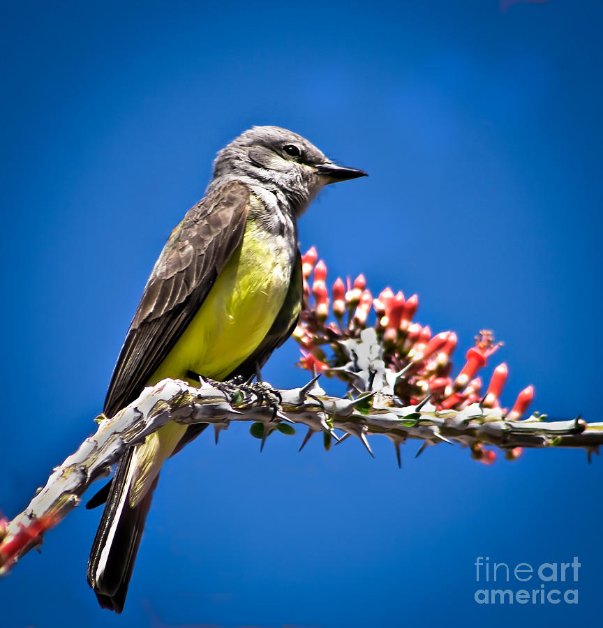 Arizona Photograph - Flycatcher by Robert Bales