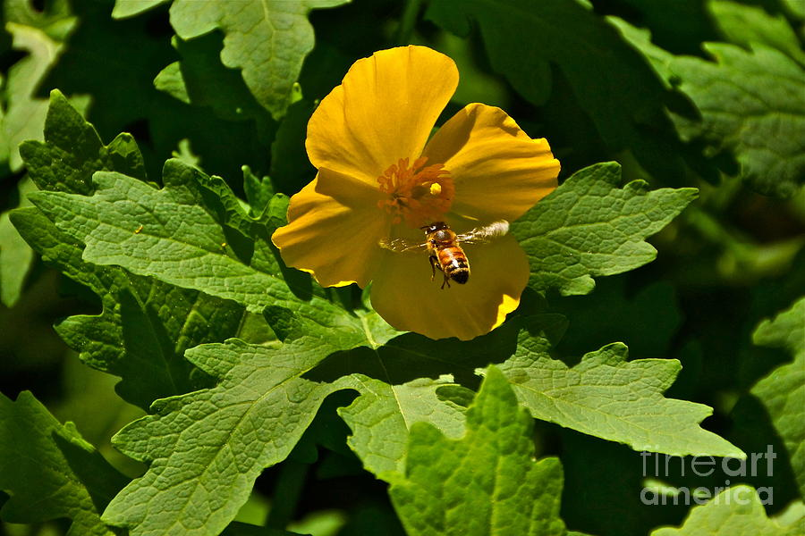 Wood Poppy Photograph - Flying Bee And Wood Poppy by Byron Varvarigos