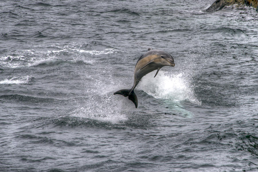 Dolphin Photograph - Flying Dolphin by David Yack