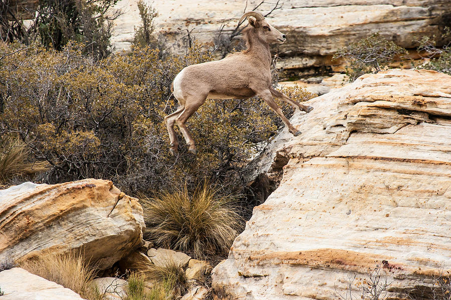 Big Horn Sheep Photograph - Flying Ewe by James Marvin Phelps