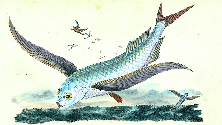 Flying fish exocoetus volitans british fishes drawing by for Flying fish images