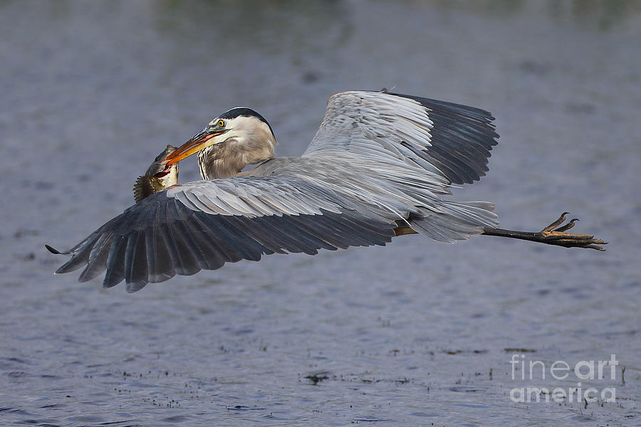 Bird Photograph - Flying Fish by Rick Mann