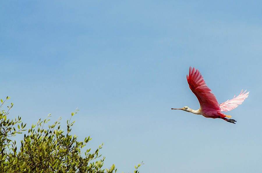 Pink Photograph - Flying Flamingo by Jess Kraft