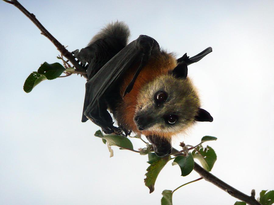Flying fox in apple tree Photograph by Alexander W Helin