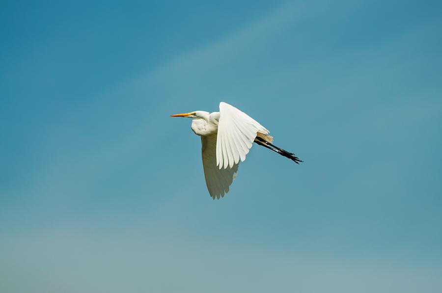 Egret Photograph - Flying Great Egret by Jess Kraft