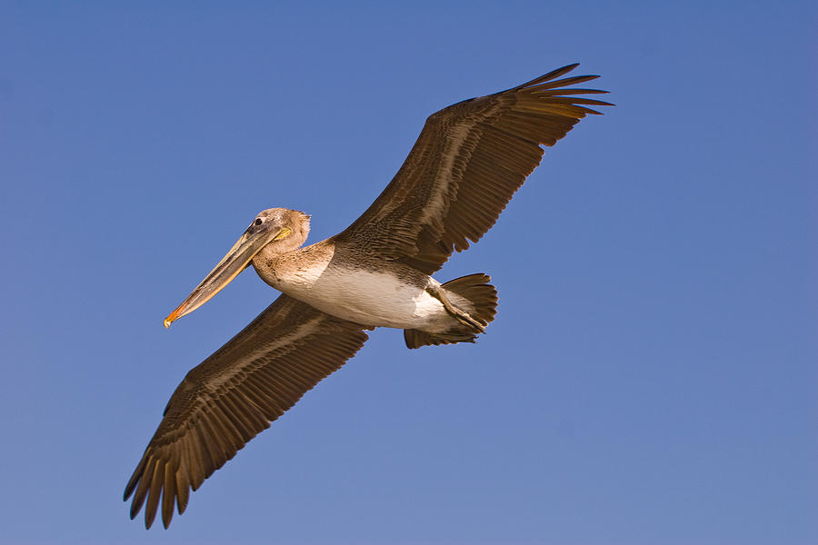 Pelican Photograph - Flying High by Paul Johnson