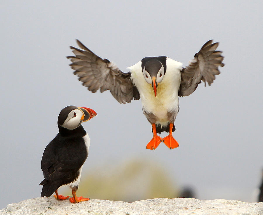Puffins Photograph - Flying Lessons by PMG Images
