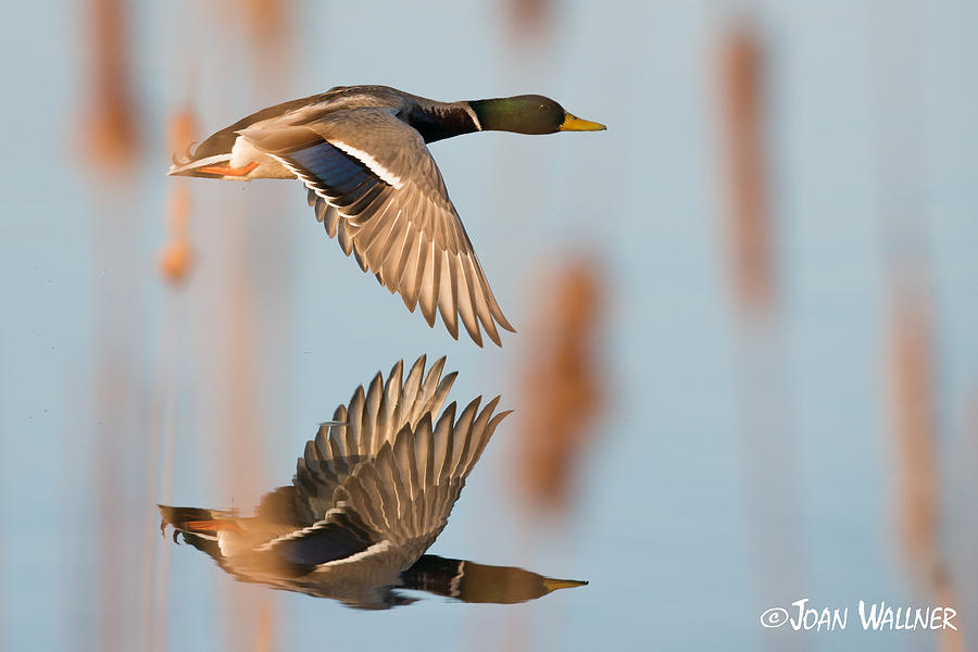 Birds Photograph - Skimming the Pond through Cattails by Joan Wallner