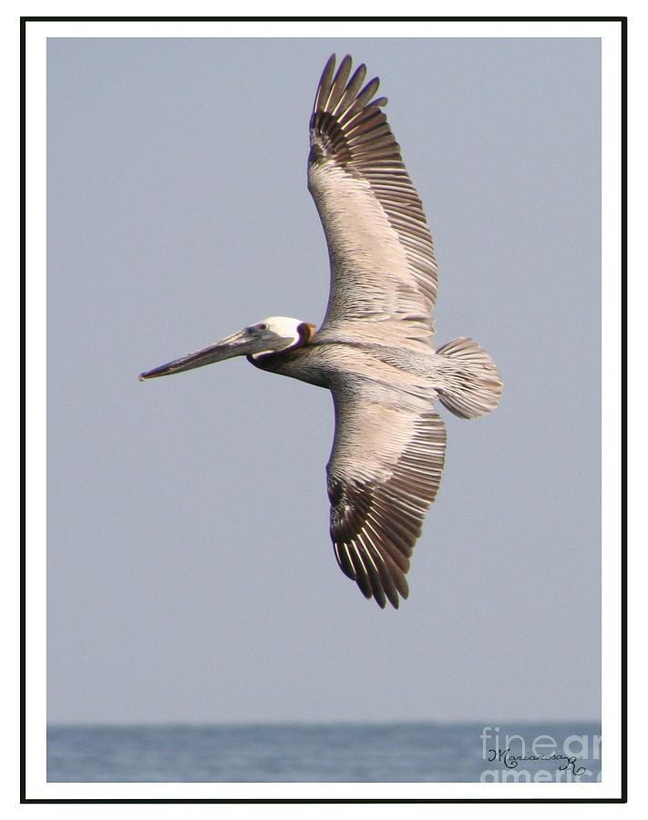 Fauna Photograph - Flying Pelican by Mariarosa Rockefeller