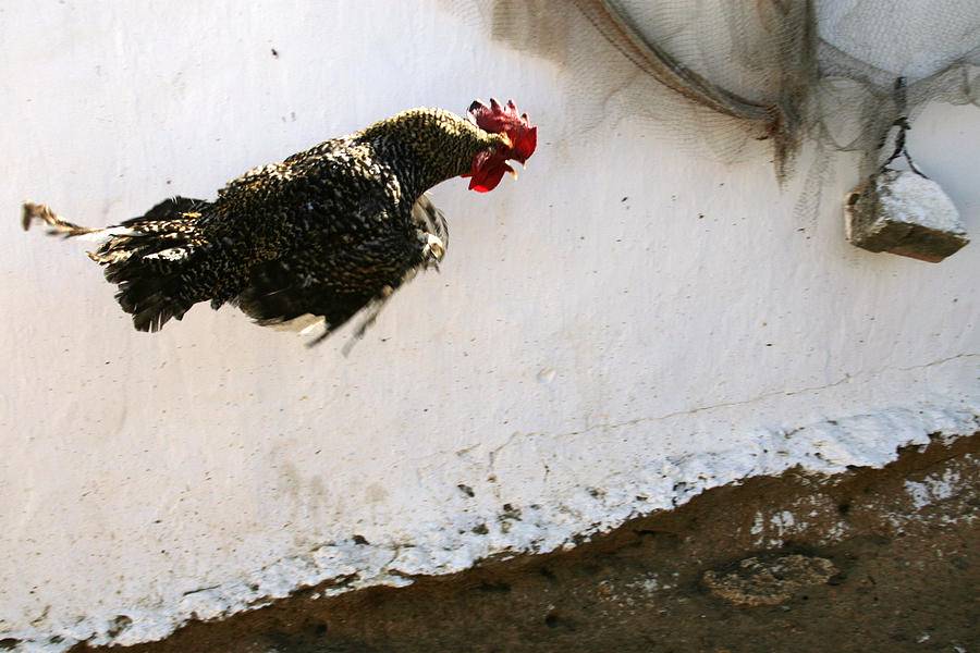 Flying Rooster Photograph