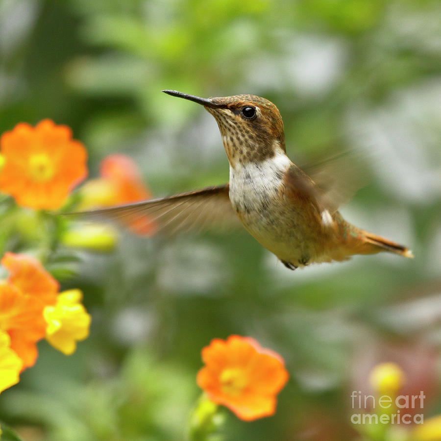 Bird Photograph - Flying Scintillant Hummingbird by Heiko Koehrer-Wagner