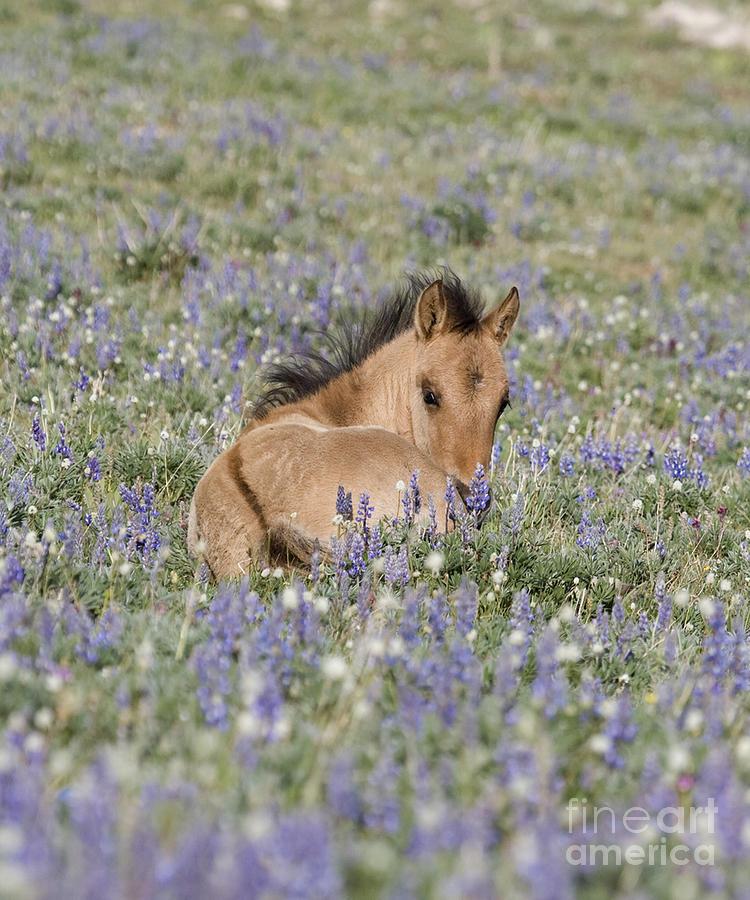 Foal Photograph - Foal In The Lupine by Carol Walker