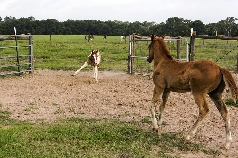 Horses Photograph - Foals At Play by Dana Moyer