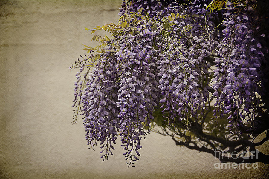 Focus On Wisteria Photograph