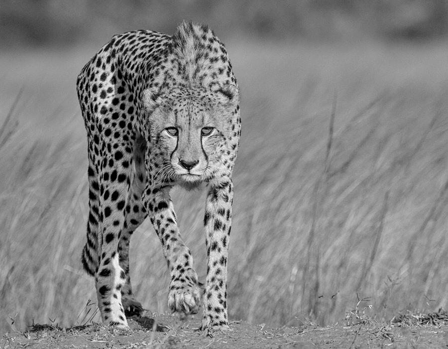 Cheetah Photograph - Focused Predator by Jaco Marx