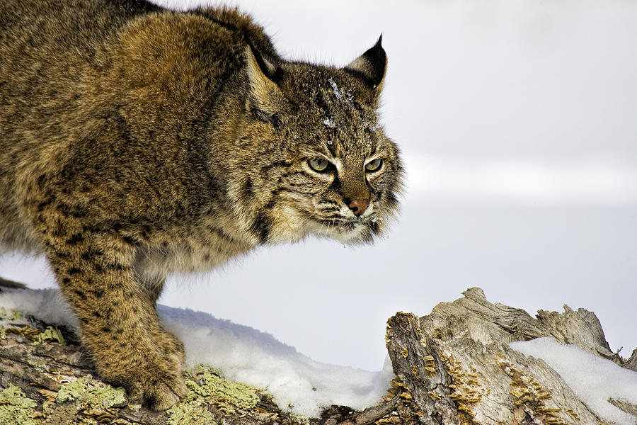 Bobcat Photograph - Focusing by Jack Milchanowski