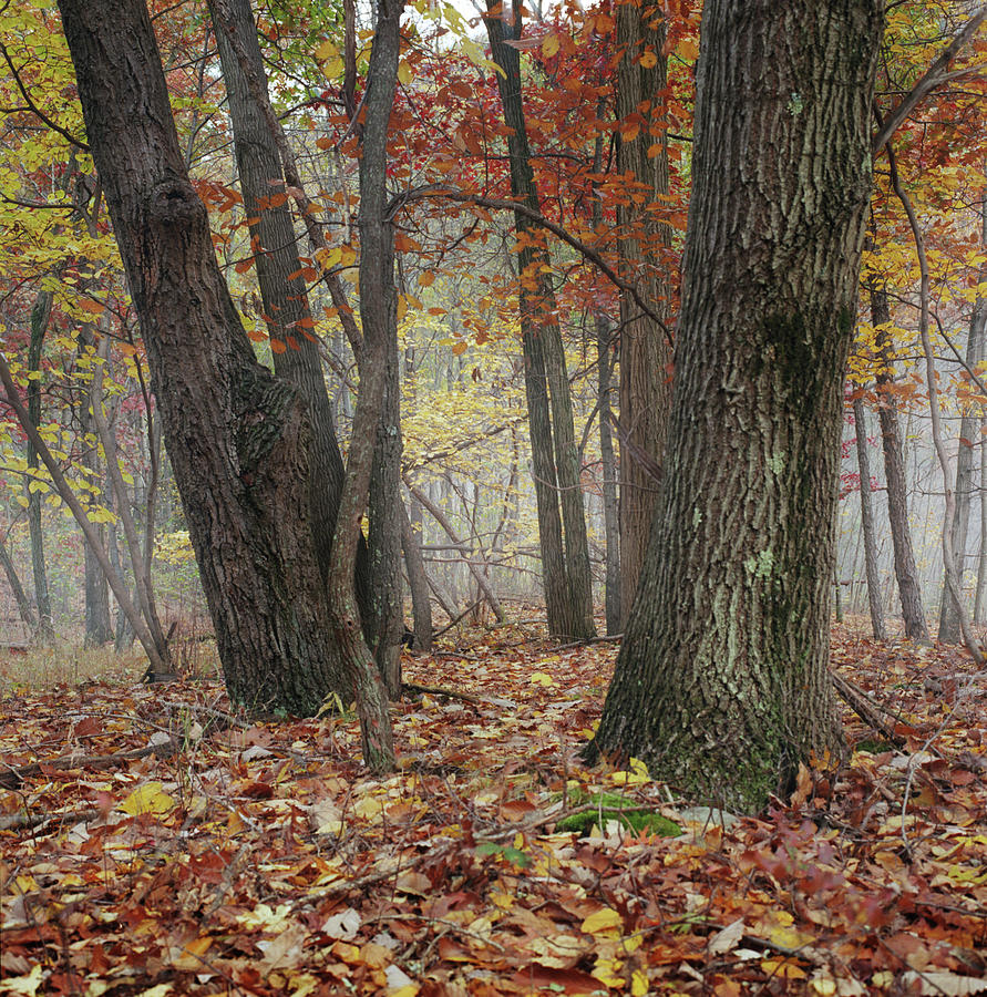 Foggy Fall Forest Photograph by Owen Luther
