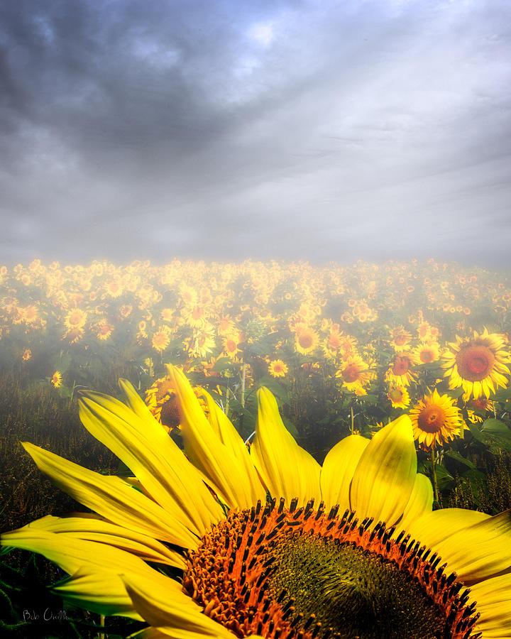 Sunflower Photograph - Foggy Field Of Sunflowers by Bob Orsillo