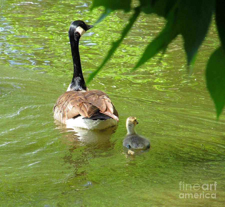 Duck Photograph - Follow Me by Tina M Wenger