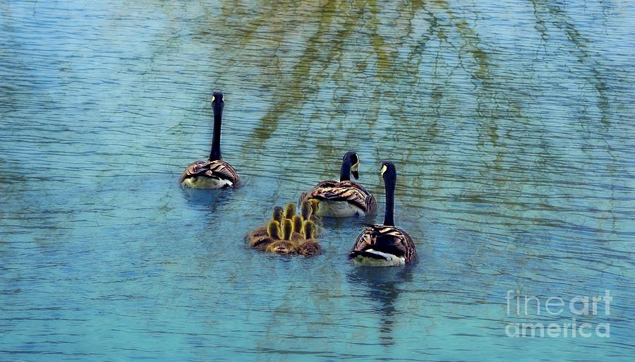 Baby Geese Photograph - Follow The Leader Baby by Peggy Franz