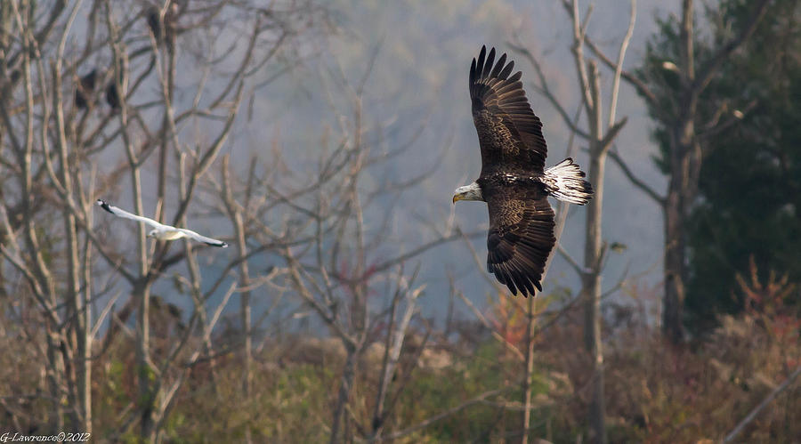 American Bald Eagles Photograph - Follow The Leader  by Glenn Lawrence