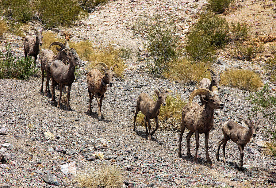 Big Horn Sheep Photograph - Follow The Leader by Tammy Espino