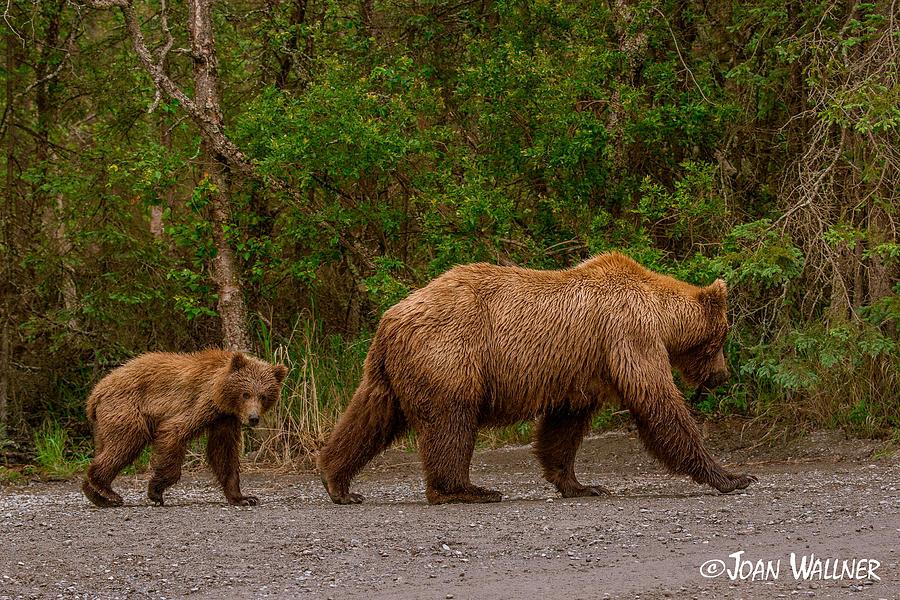 Alaska Photograph - Following mom closely by Joan Wallner