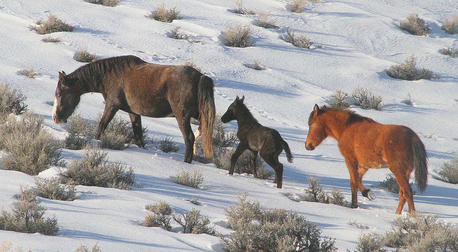 Wild Horses Photograph - Following Mom  by Jeanne  Bencich-Nations