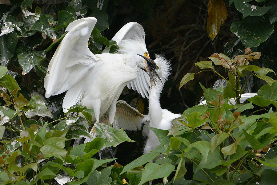 Egret Parent Feeding Young Chick Photograph - Food Delivery by Fraida Gutovich