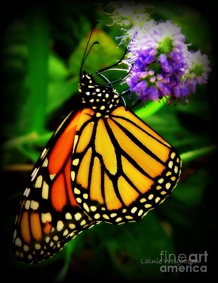 Monarch Photograph - Food For Flight by Lainie Wrightson