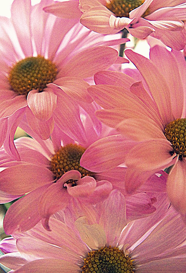 Pink Daisy Photograph - For Mom by Laurie Perry