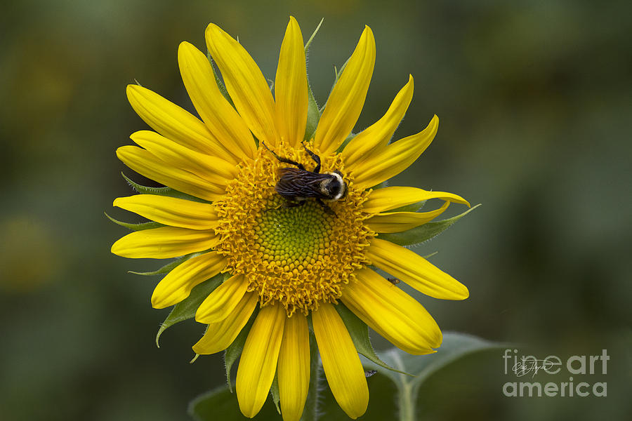 For The Love Of Pollen Photograph