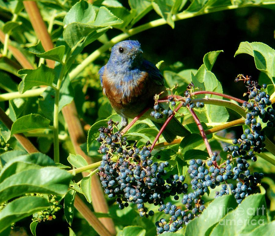 Western Bluebird Photograph - For You - Blue  - 2 by Jacquelyn Roberts