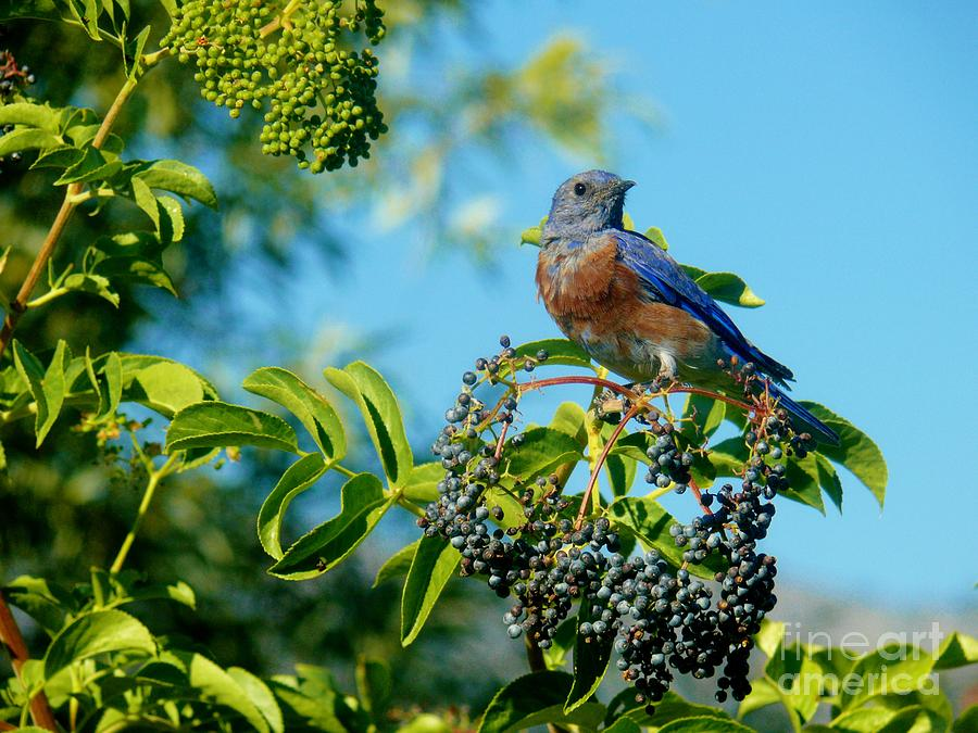 Western Bluebird Photograph - For You - Blue by Jacquelyn Roberts