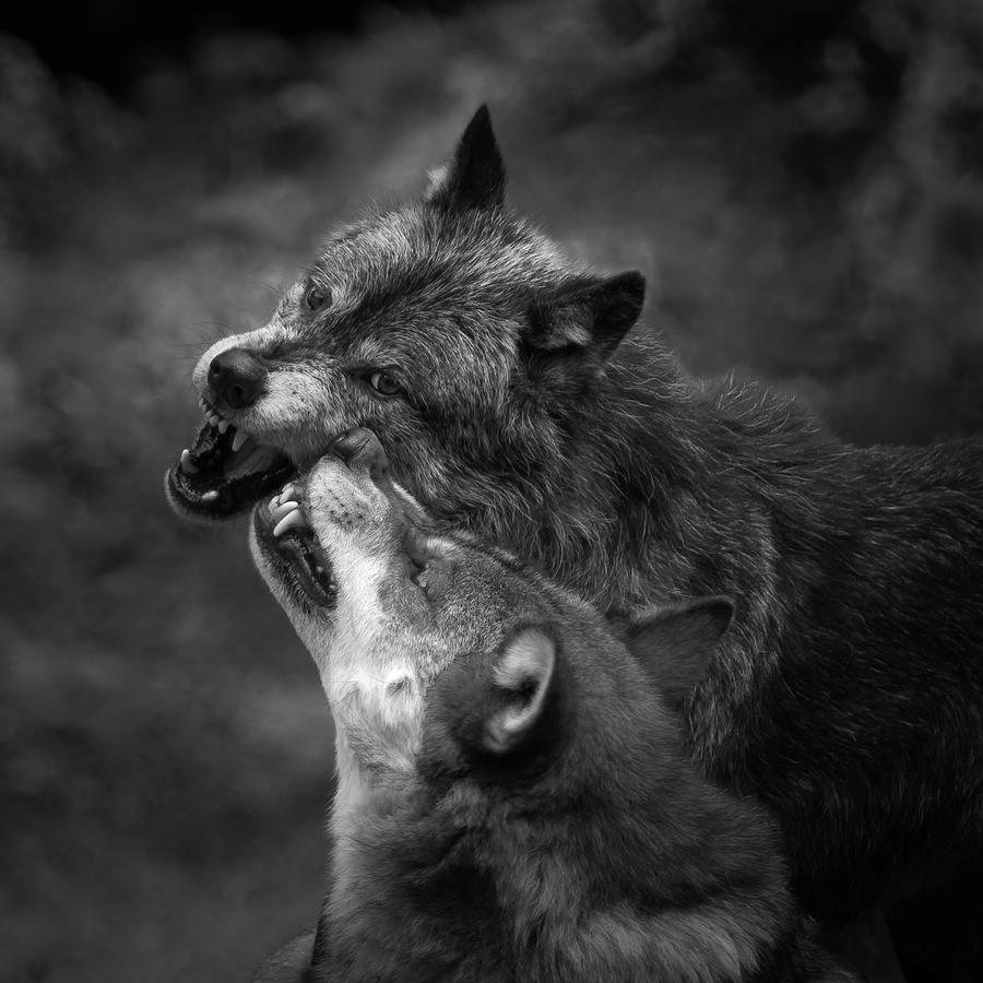 Wolf Photograph - Foreplay...? by Sebastian Graf
