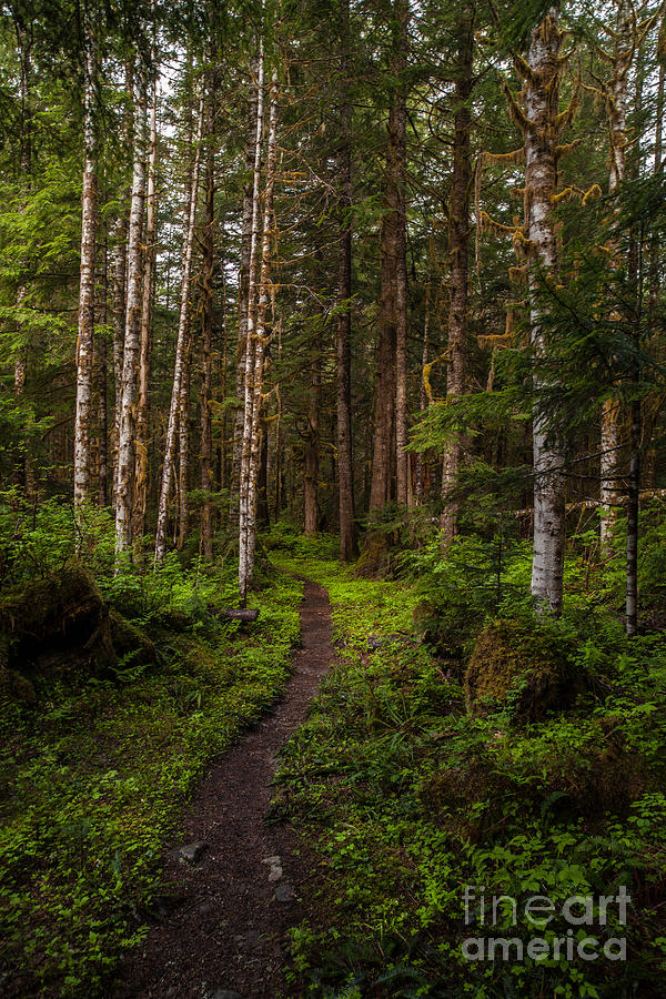 Northwest Photograph - Forest Alder Path by Mike Reid