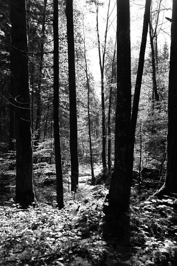 Wald Photograph - Forest Black And White 13 by Falko Follert