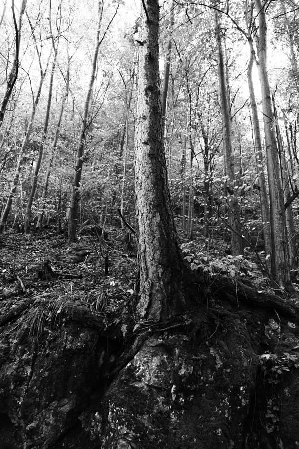 Wald Photograph - Forest Black And White 8 by Falko Follert